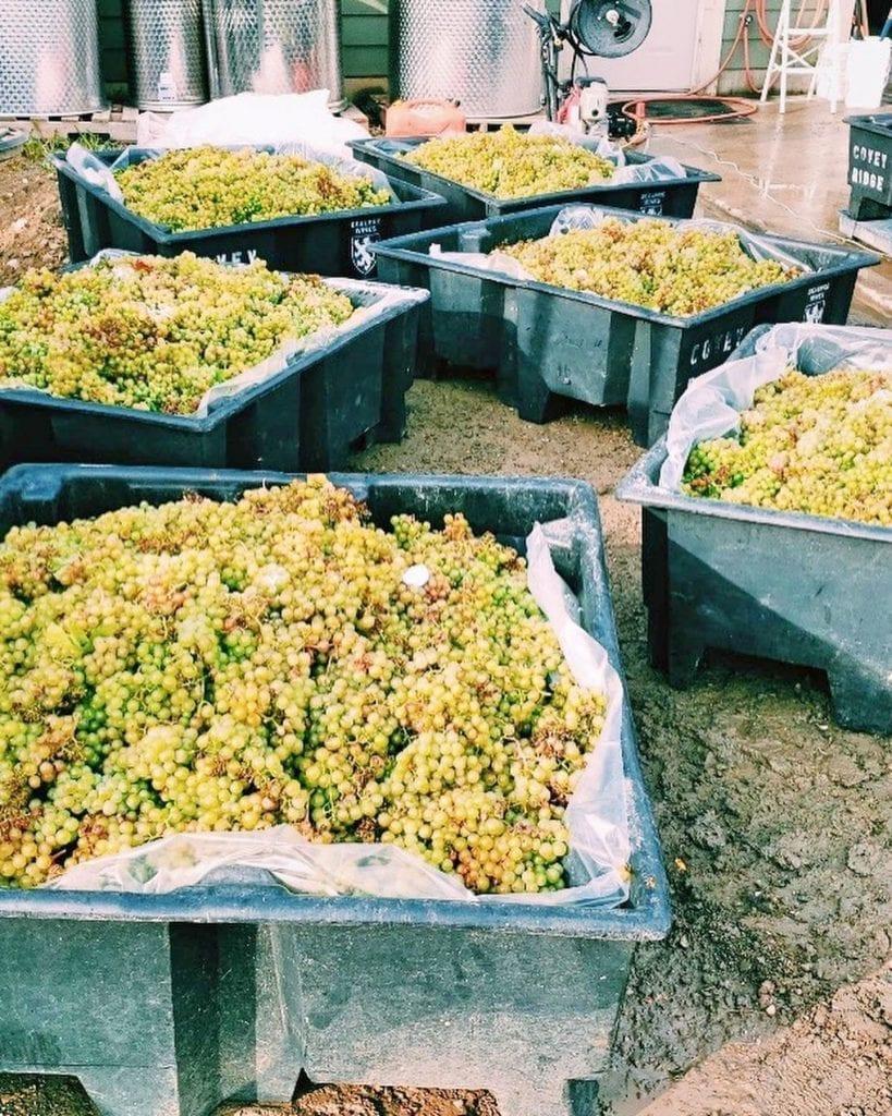 Waterside Vineyards & Winery #BCHarvest19